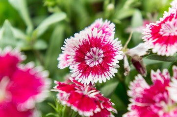 Dianthus flower , flower blossom  in the garden , beautiful colorful flowers