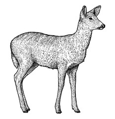 Roe deer illustration, drawing, engraving, ink, line art, vector