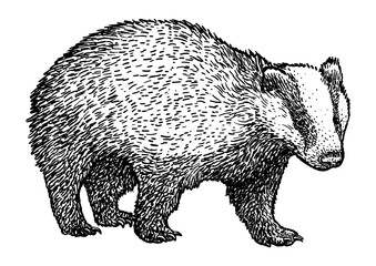 Badger illustration, drawing, engraving, ink, line art, vector