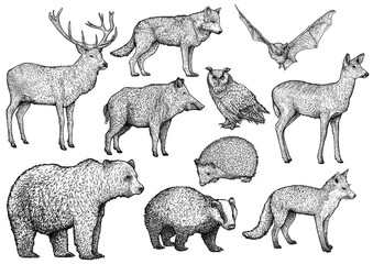 Forest animal illustration, drawing, engraving, ink, line art, vector