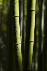 bamboo stalks with water drops