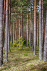 Beautiful Nature Landscape of Pine forest
