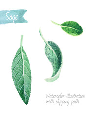 Sage leaves isolated on white watercolor illustration