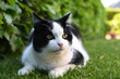 black and white domestic cat lying on the grass