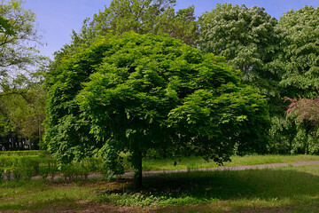 The tree in the park in Burgas Bulgaria, an interesting form of the green crown of the maple in spring.
