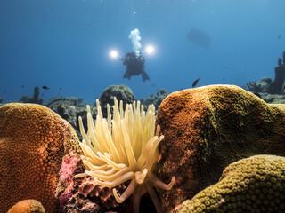 Unterwasser - Riff - Koralle - Anemone - Schwamm - Taucher - Tauchen - Curacao - Karibik