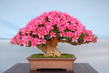 サツキ(皐月)の盆栽