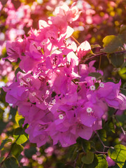 Golden light from above on pink bougainvillea flowers and leaves on a dappled light bokeh background.