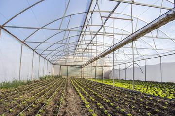 Rows of green plants on modern farm for growing lettuce