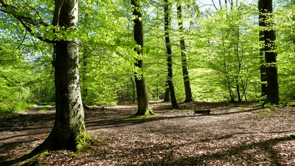 Buchenwald im Frühling leuchtet im Gegenlicht herrlich grün