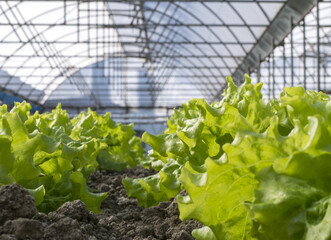 Modern farm for growing lettuce