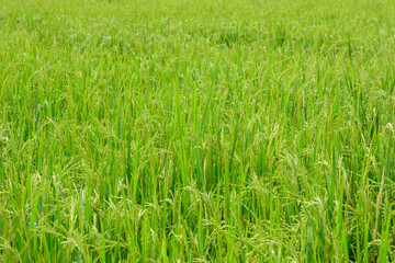 Rice in field