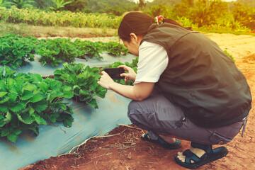 Asian female photographer taking photo organic strawberry fruit.