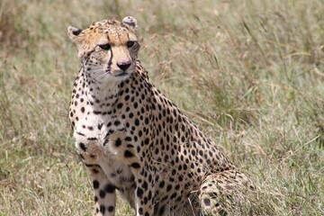 Pensive cheetah