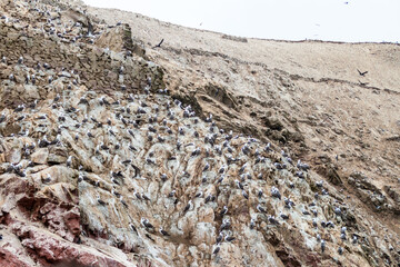 Peruvian booby (Sula variegata) on the rocks of the Ballestas Islands in the Paracas National park, Peru.