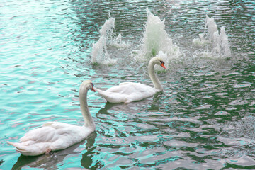 White swans Cleans feathers in the lake garden With Fountain .