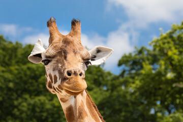 Autocollant pour porte Girafe Giraffe portrait front view