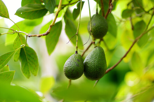 Bunch of fresh avocados ripening on an avocado tree branch