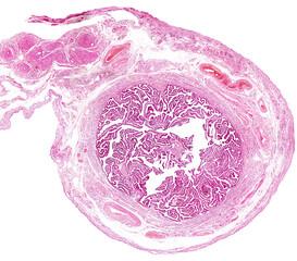 Human fallopian tube