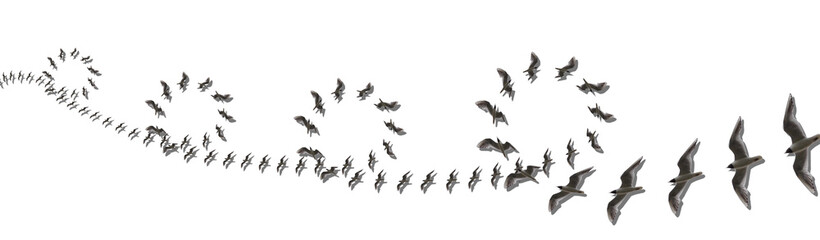 Elegant Montages Show the Beauty of Birds in Flight. Many Birds Circling, on a White Background. Panoramic Image For Skinali