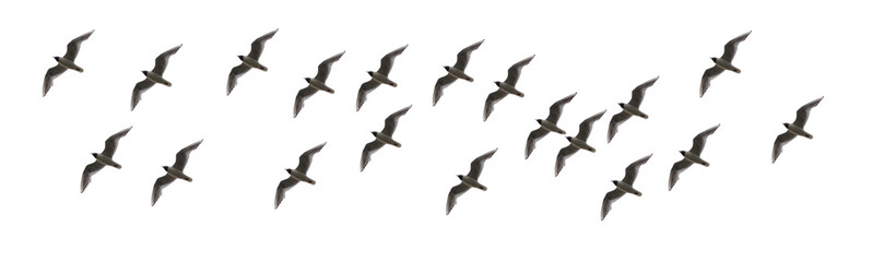 Elegant Montages Show the Many Beauty of Birds in Flight on a White Background. Panoramic Image For Skinali