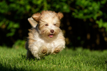 Playful chocolate colored havanese puppy dog chasing a ball in the grass