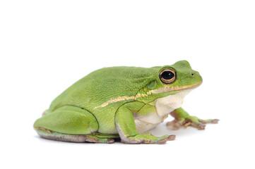Baby frog isolated on white background