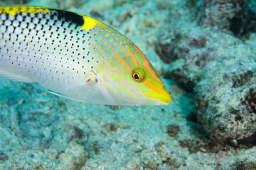 Colorful wrasse