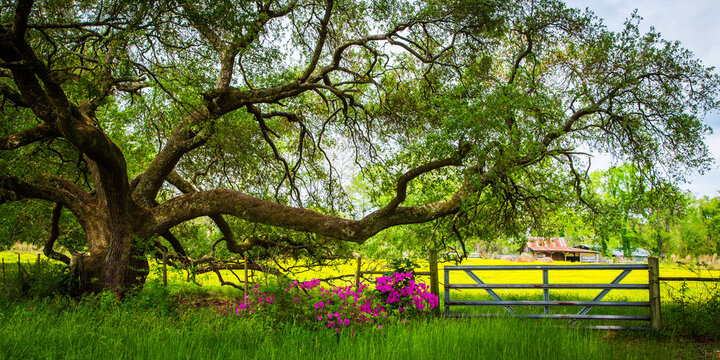 Live Oak Tree With Barn And Field