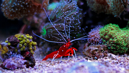 Lysmata Debelius - Red Fire Shrimp