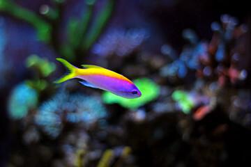 Evansi Anthias in reef aquarium tank