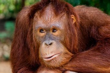 Foto op Aluminium Aap portrait of the orangutan in the zoo in thailand.