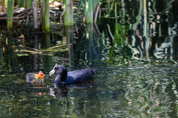 Parent Eurasian Coot feeding young coot ducklings in springtime