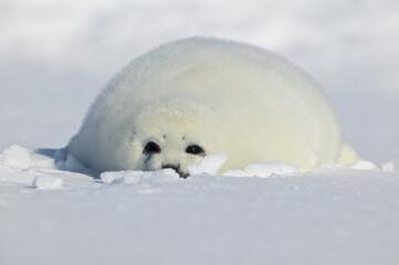 Harp seal (Phoca groenlandica), pup on iceshelf, Canada