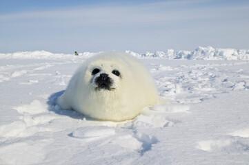 Harp seal (Phoca groenlandica)