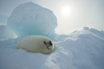 Harp seal (Phoca groenlandica) pup in ice cradle, Gulf of Saint Lawrence, Canada.