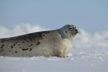 Harp seal (Phoca groenlandica) female on the ice, Gulf of Saint Lawrence, Canada.