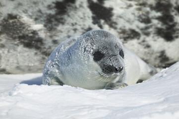 Hooded seal (Cystophora cristata) pup on iceshelf