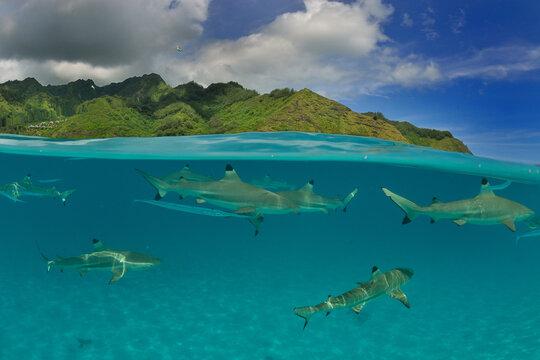 Moorea - Haapiti (Polynésie Française)  : requins pointes noires nageant dans le lagon.....
