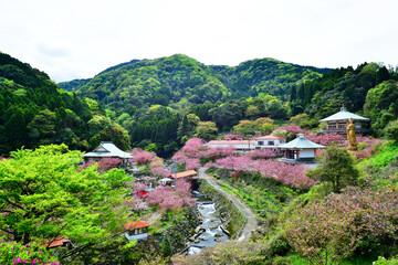 廻栖野のぼたん桜