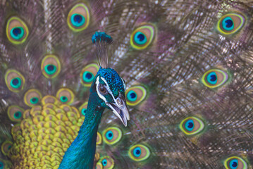 A beautiful male peacock with expanded feather, animal background.