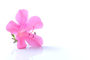 In de dag Azalea Japanese pink azalea flower isolated