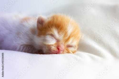 Newborn Of Persian Catcute Baby Kitten One Day Old Eyes Stillcute