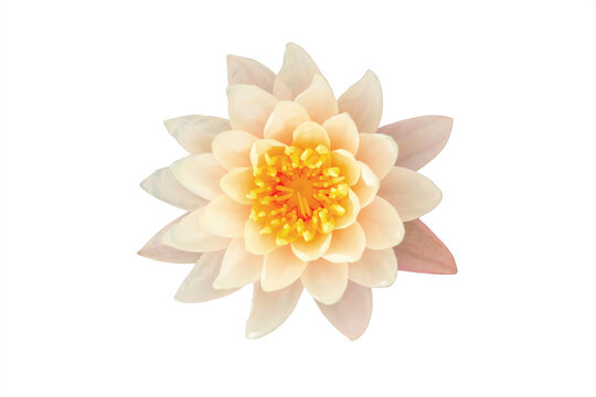 Close up of water lily or lotus flower isolated on whited background with clipping path
