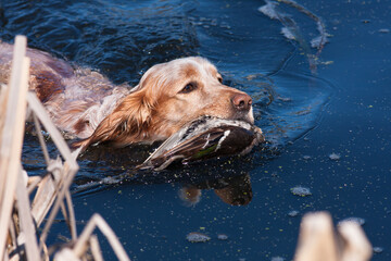 hunting dog holding a dead duck in the water
