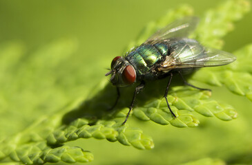 A Fly that is drinking water from a leaf
