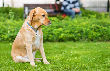 Labrador retriever dog sitting in the green park