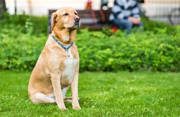 Labrador retriever dog sitting in the green park