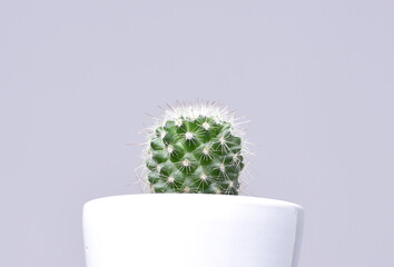 cactus, en maceta blanca con fondo gris.