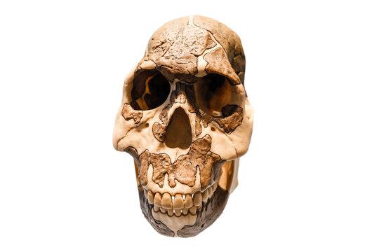 Reconstructed fossil skull of Homo Sapiens